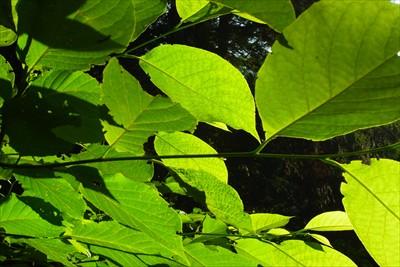 ・・・と言いつつ新緑の葉っぱを...