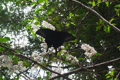 きれいな黒い蝶がいた・・・。う...