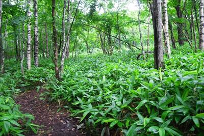 北海道の林床にある笹って本州と...