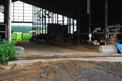 前を通ったら、牛が一斉にコッチ...