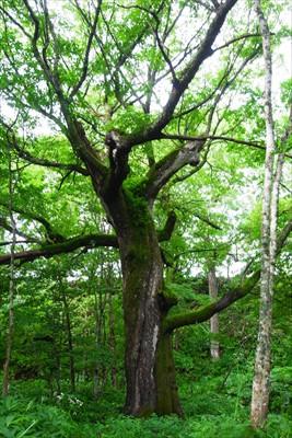ハルニレの巨木。対象物が無いの...