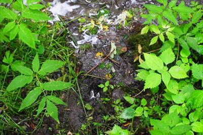 鹿の足跡だ! やっぱり動物の水...