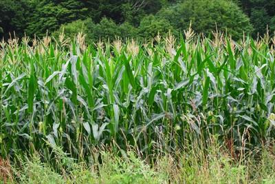 右側にはトウモロコシ畑。...