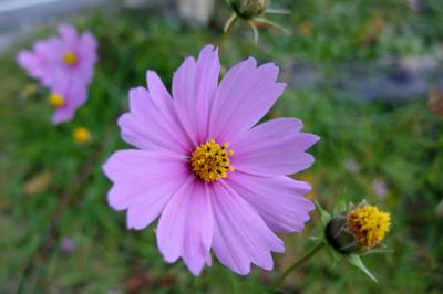 まさに秋の花・・・秋桜・・・。...