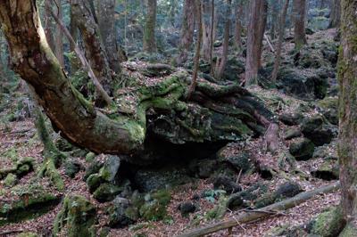 岩の上に根を張った木。いかにも...