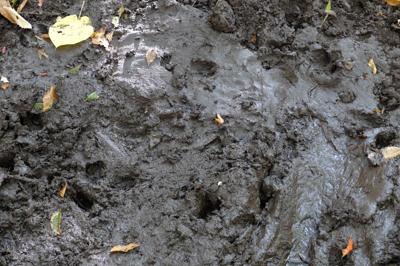道の脇にあった泥場には動物の足...