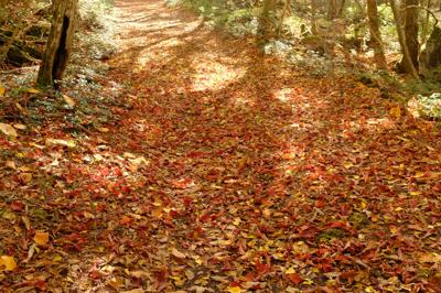 落ち葉の絨毯。...