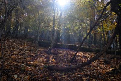 大室山の西斜面は広いブナ林が広...