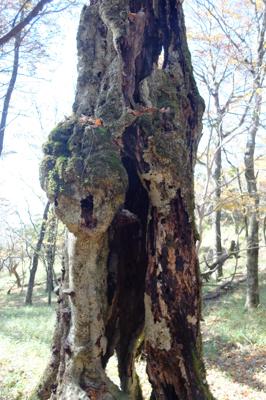 縁の鞍部にある特徴的な木。さて...