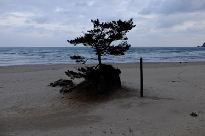 砂浜には松が似合うよな〜。 ...