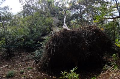 倒れた木。...