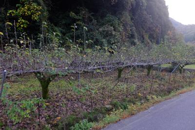 ここにも小さい梨畑がある。...