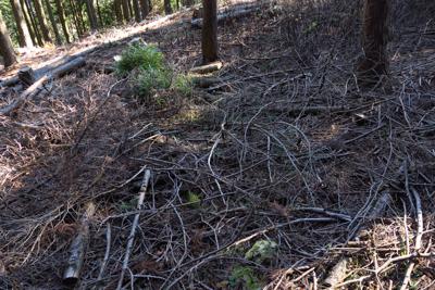 この辺りは枝打ちした木をそのま...