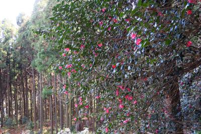 ツバキが咲いている。...