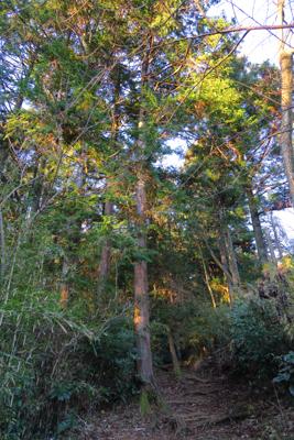 ここから針葉樹林帯に入る。...