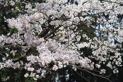 桜がキレイ。...