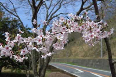 そう言えば今年は近所の桜祭りに...