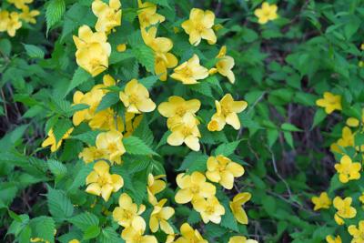 黄色い花。ミツバツチグリとかい...