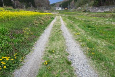 左に菜の花が満開の道を進む。...