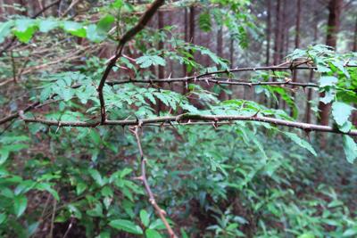 うお! 山椒の木があった。トゲ...