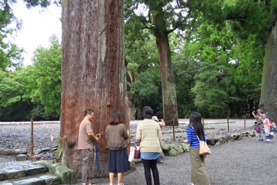 千年は越えていそうな杉の木がい...