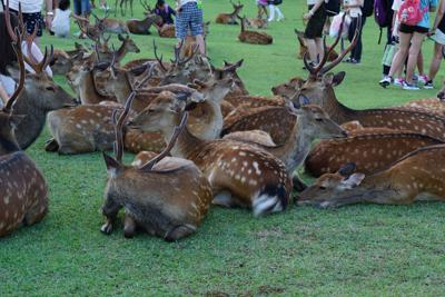 奈良公園で鹿見学。もう、お休み...