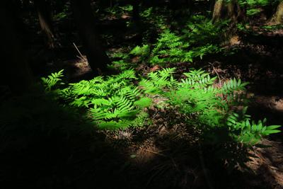 林床には印象的な緑の葉が・・・...