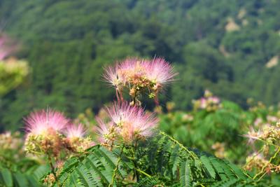 ねむの木の花が咲いていた。...