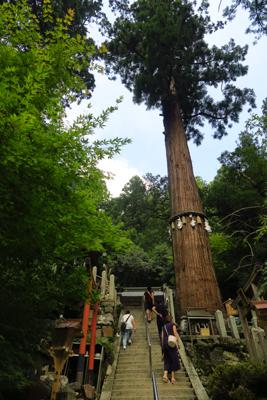 でっかい杉! 樹齢800年だそ...