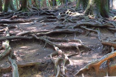 少しコースから外れて、木の根道...