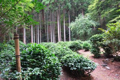 なんとここが日本におけるお茶栽...