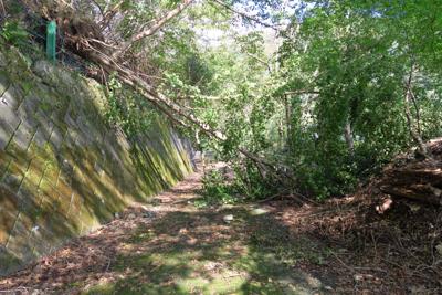 湖岸道路に大きな木(フサザクラ...