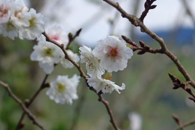 桜?...