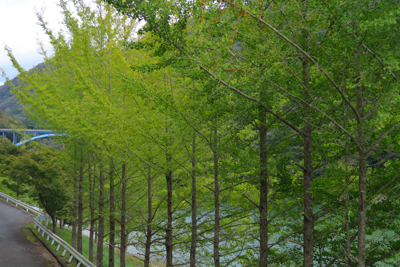 銀杏並木。黄葉はまだですね。...
