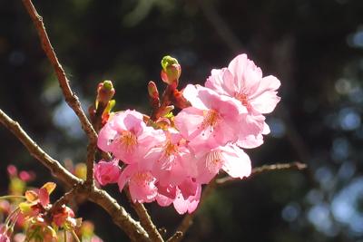 桜!...