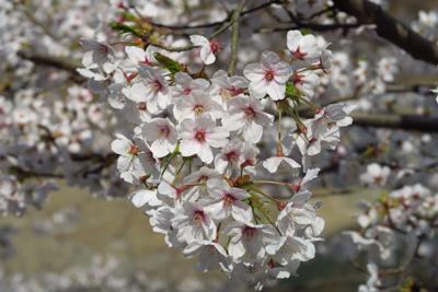 ちょうど湖畔の桜が満開でした。...