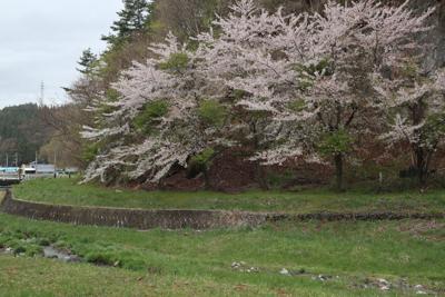 ちょうど桜が満開でした。天気が...