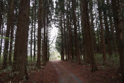 曲がって少し歩くと、杉林がある...