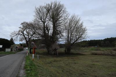 これが地図にもある大銀杏の木だ...